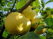 cedrat_citron-fruit-7043986