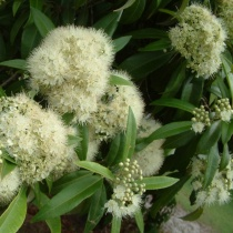 citronmirte_backhousia_citriodora