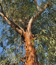 eucalyptus-radiata-essential-oil