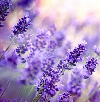 lavender-high-altitude-essential-oil_1351405202