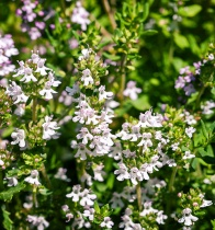 thyme-white-essential-oil