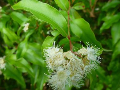 anise-myrtle-in-flower