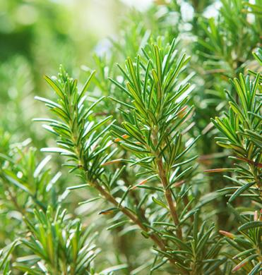 rosemary-essential-oil_1