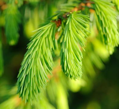 spruce-abies-essential-oil