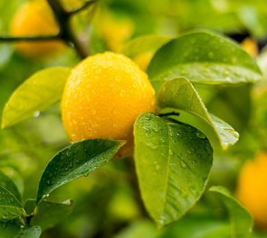 lemon-organic-distilled-essential-oil_456727562