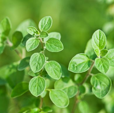 oregano-essential-oil_1